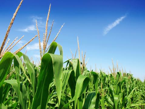 ethanol corn stalks